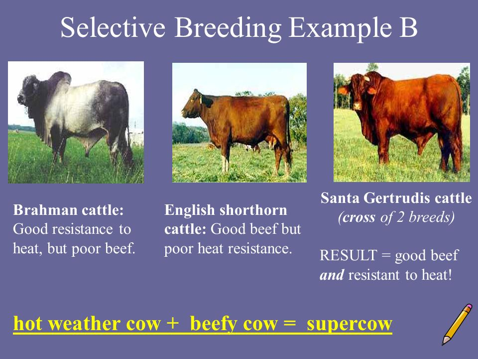 selective breeding Compare and contrast scientific theories know that both direct and indirect observations are used by scientists to study the natural world and universe.
