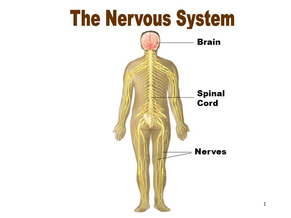 The Nervous System The Nervous System Spinal Cord Brain Nerves