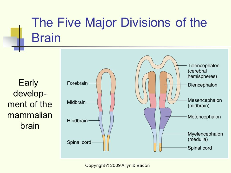 five major structures of the brain essay Check out our top free essays on five structures of the brain to help you write your own essay.