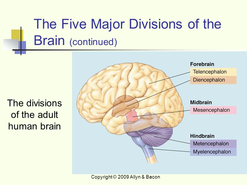 five major divisions of the brain What are the major divisions of the brain the brain has four major divisions: 1) brainstem, including the medulla oblongata, pons, and midbrain 2.