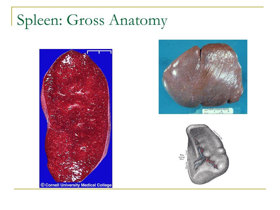 Spleen Gross Anatomy