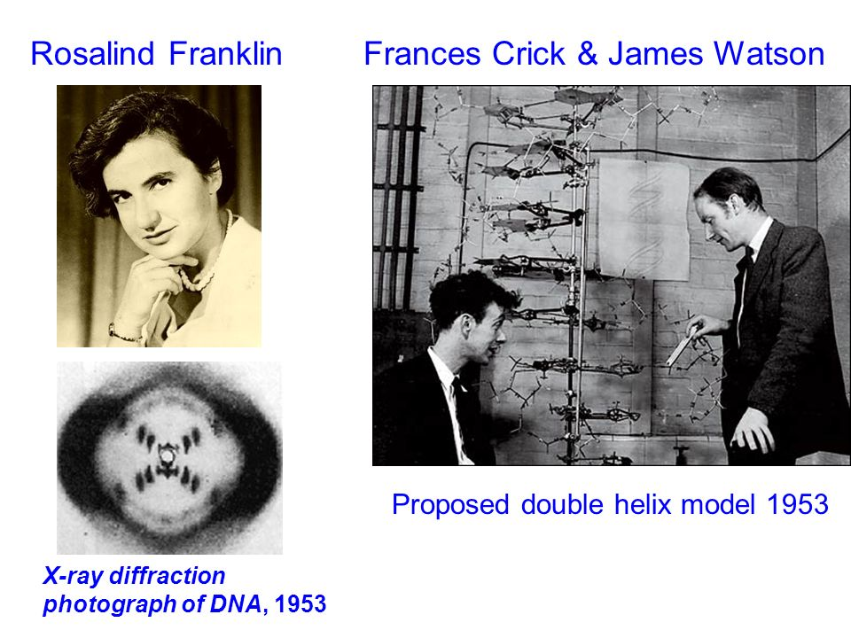 francis cricks work in discovering the dna molecule Molecular structure of nucleic acids:  francis crick played an integral role in both the  about the structural symmetry of the dna molecule crick,.