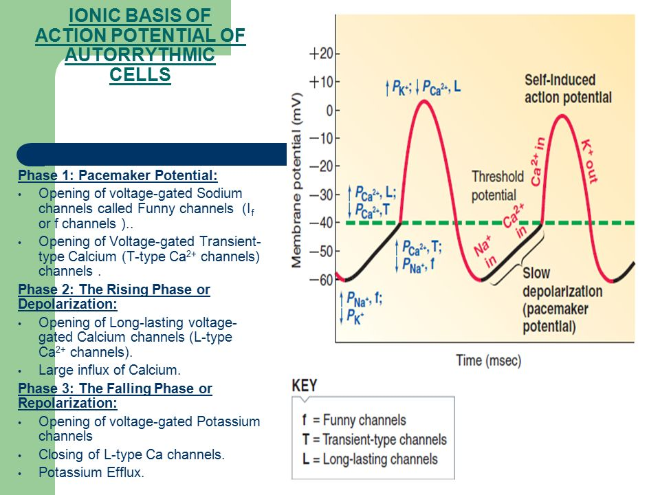 IONIC BASIS OF ACTION POTENTIAL OF AUTORRYTHMIC CELLS
