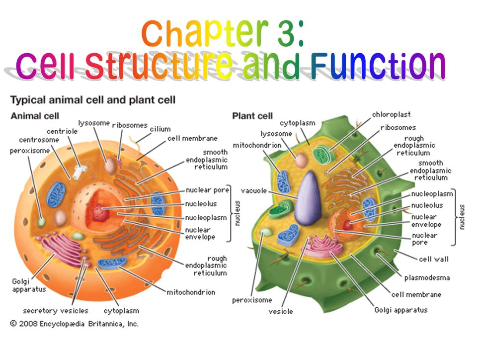 structure and function of cells and Study cell structure and organelles with a review in questions and answers  the  cell itself, maintaining specific conditions for cellular function within the cell.