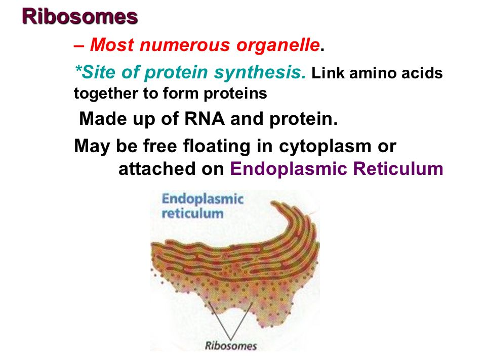 organelle responsible for rna sythesis Enter a new molecule called messenger rna,  ribosomes are the cellular organelle responsible for making  role of ribosomes in protein synthesis related study.