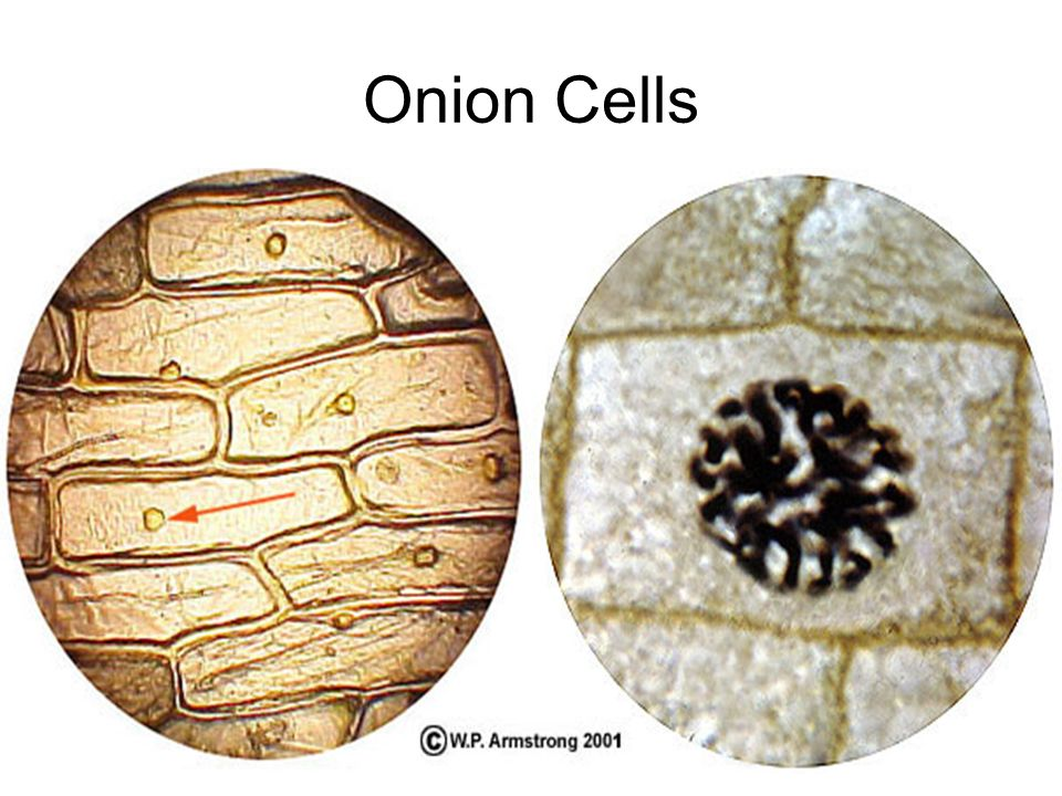 Ribosomes In A Plant Cell Cell Structure and Fun...