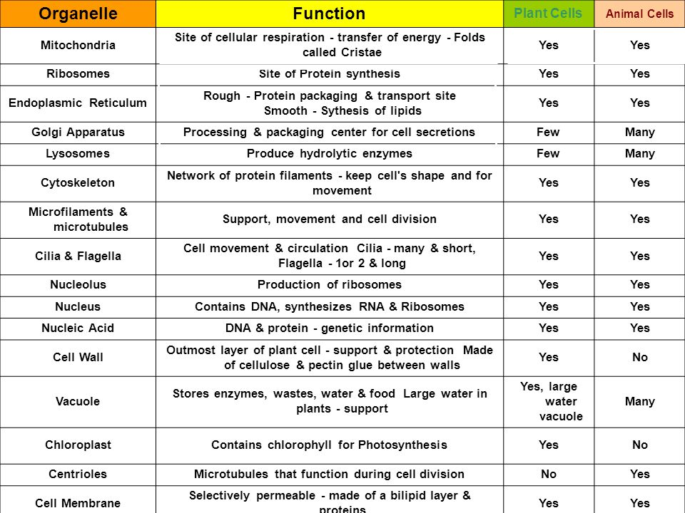 List of Cell organelles and their functions