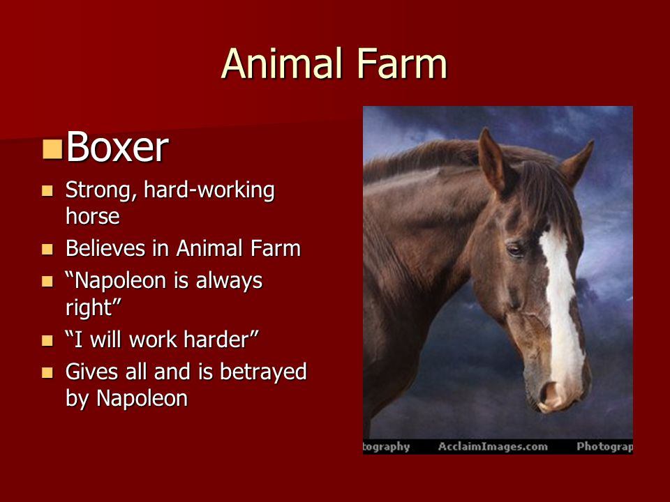 boxer from animal farm essay