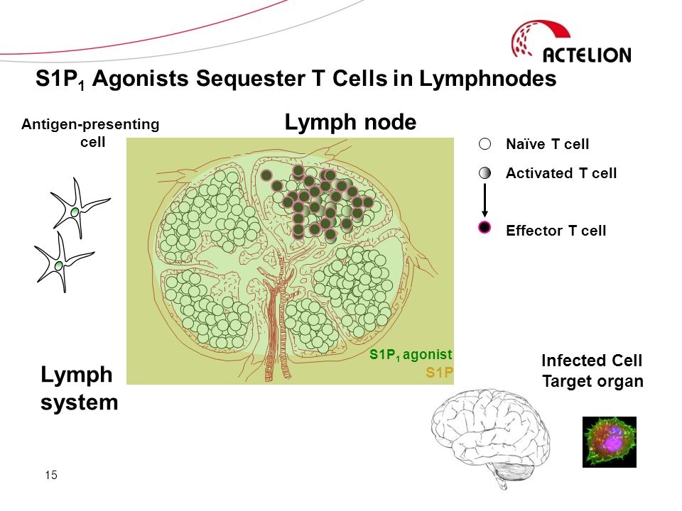 S1P1 Agonists Sequester T Cells in Lymphnodes
