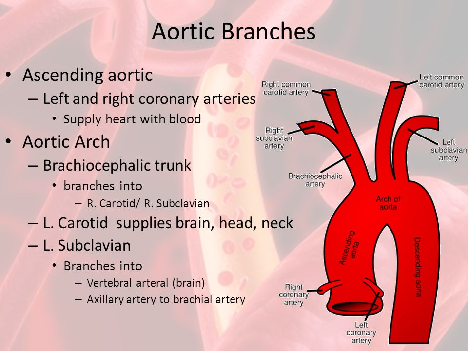Aortic Arch Branches Anatomy