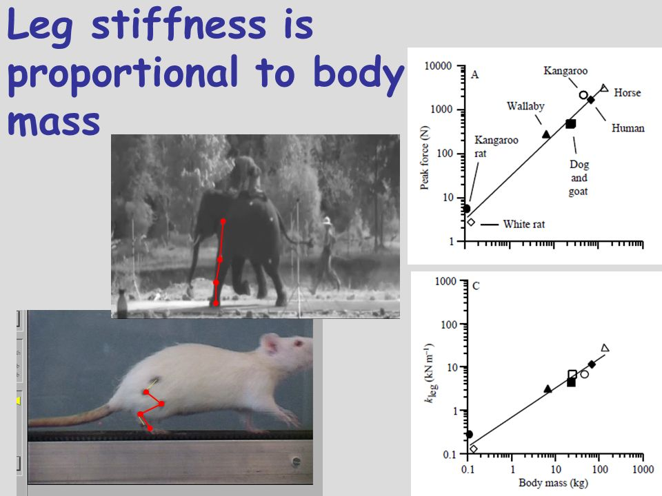 Leg stiffness is proportional to body mass