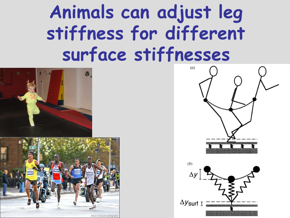 Animals can adjust leg stiffness for different surface stiffnesses