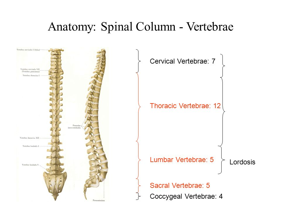 Anatomy of the Spineppt  Vertebra  Vertebral Column