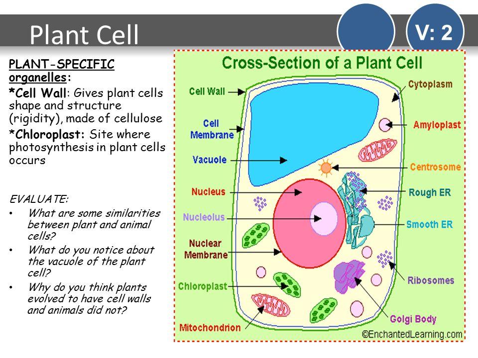 Do animal cells have chloroplasts