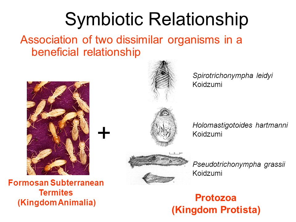 protozoa and termites symbiotic relationship examples