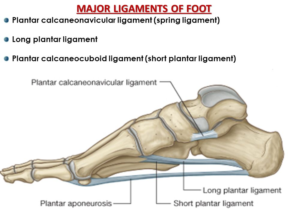Spring Ligament | www.pixshark.com - Images Galleries With ...