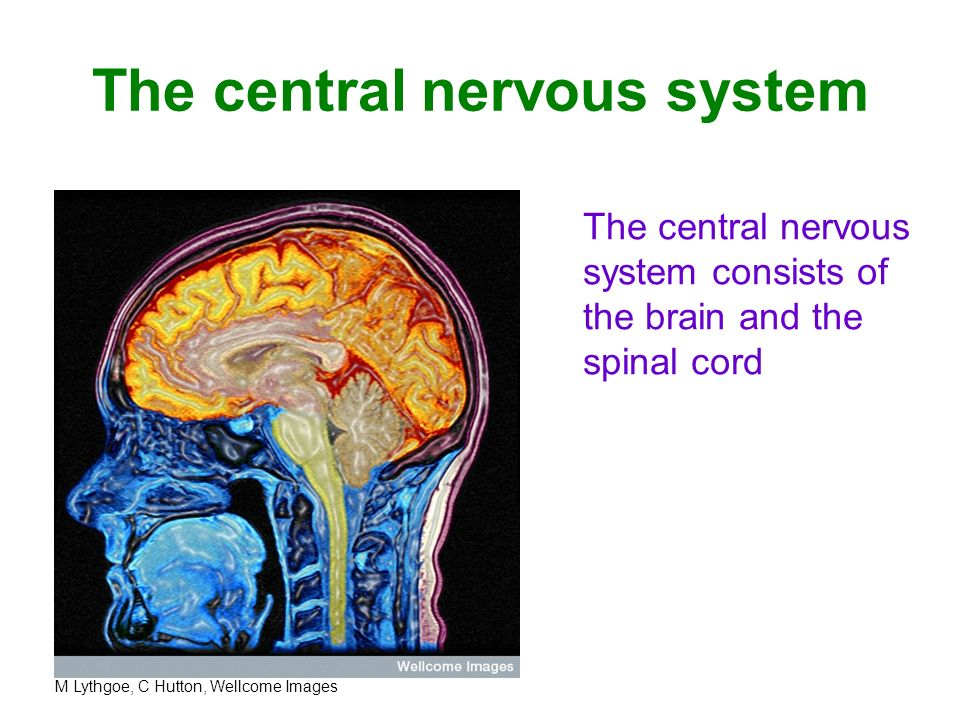 the central nervous system consists The human nervous system is very complex with many interactive units that are changing constantly to reflect human behavior and activity this.