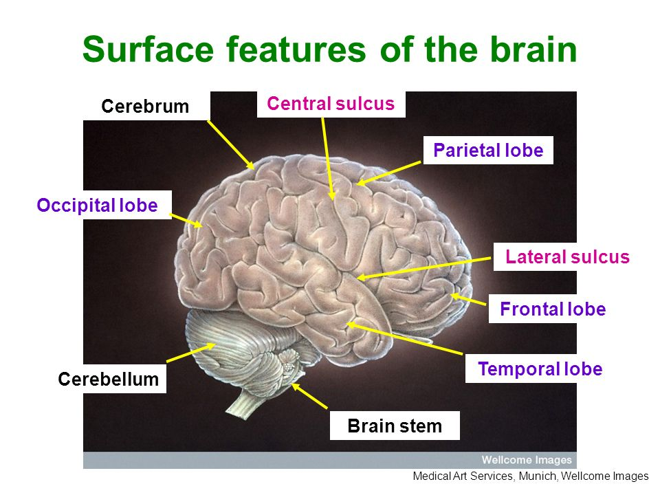 The main features of the human brain