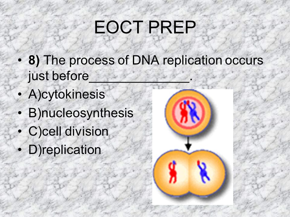 EOCT PREP 8) The process of DNA replication occurs just before______________. A)cytokinesis. B)nucleosynthesis.