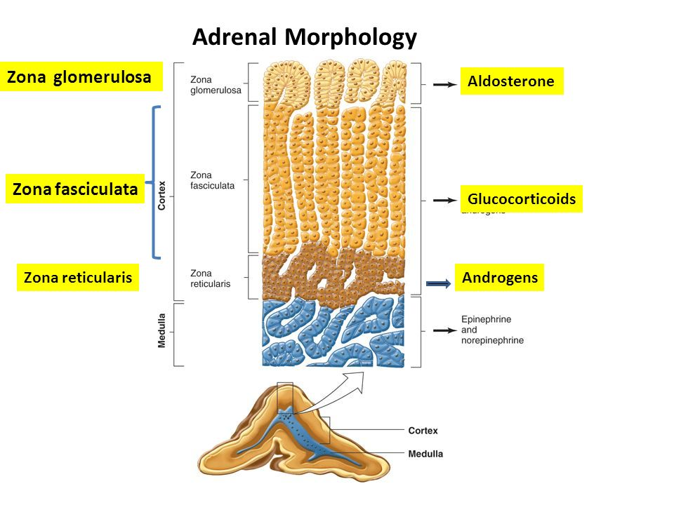 adrenal gland functional histology. - ppt video online download, Human Body