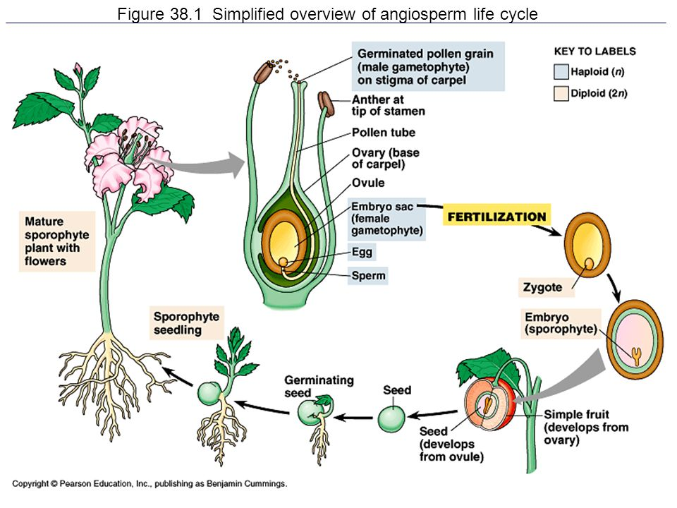 an overview of the plant life Life cycle of plants all plants have a characteristic life cycle that includes alternation of generationsplants alternate between haploid and diploid generations alternation of.