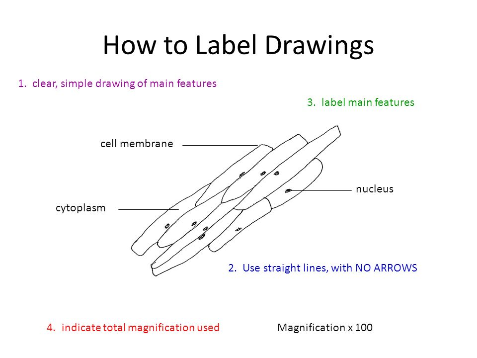 Lines Are Used In Art To Indicate : The area where protein synthesis takes place ppt video