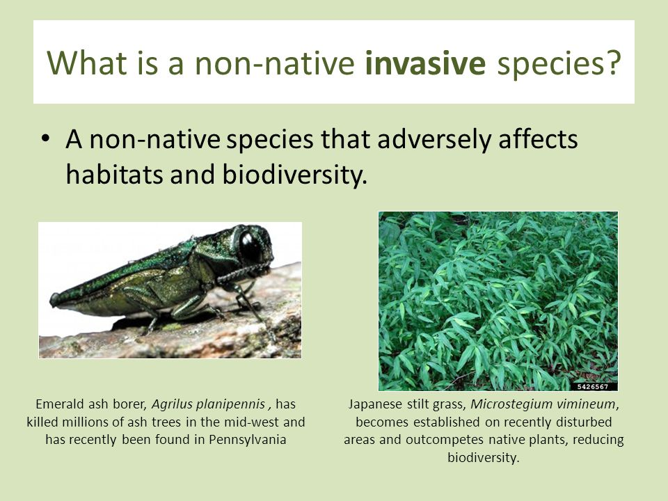 a discussion on hoddles use of exotic species to control invasive exotic species Here's a forum for thoughtful and respectful discussion of invasive plants (whether native or exotic/alien species) the invasive plants discussion forum at dave.