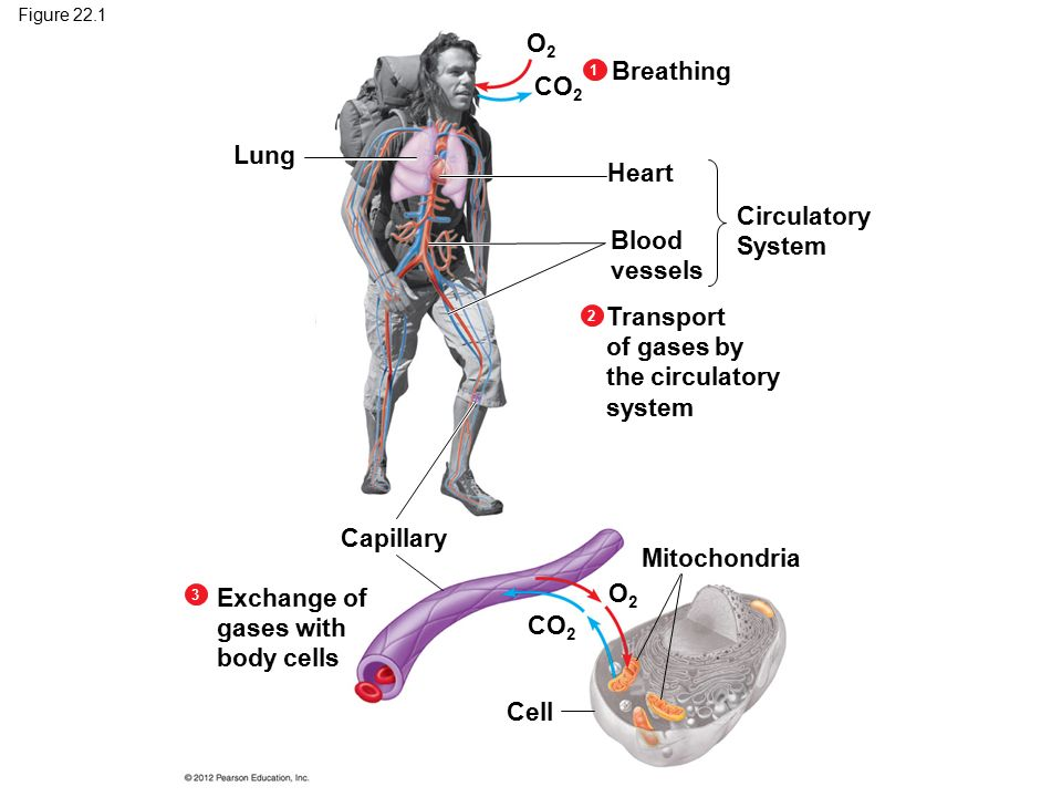 Chapter 22 gas exchange ppt download transport of gases by the circulatory system ccuart Choice Image