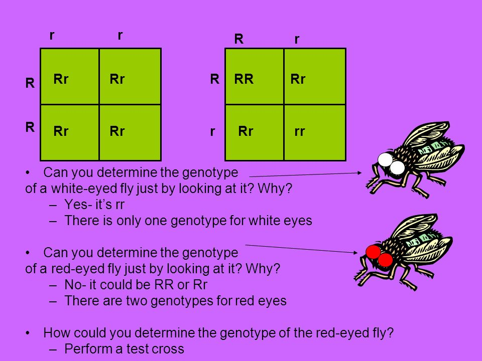 fruit fly dihybrid cross Materials for labs & experiments  description: a virtual lab that uses fruit flies, mono- and dihybrid crosses, and statistics to teach concepts of inheritance.