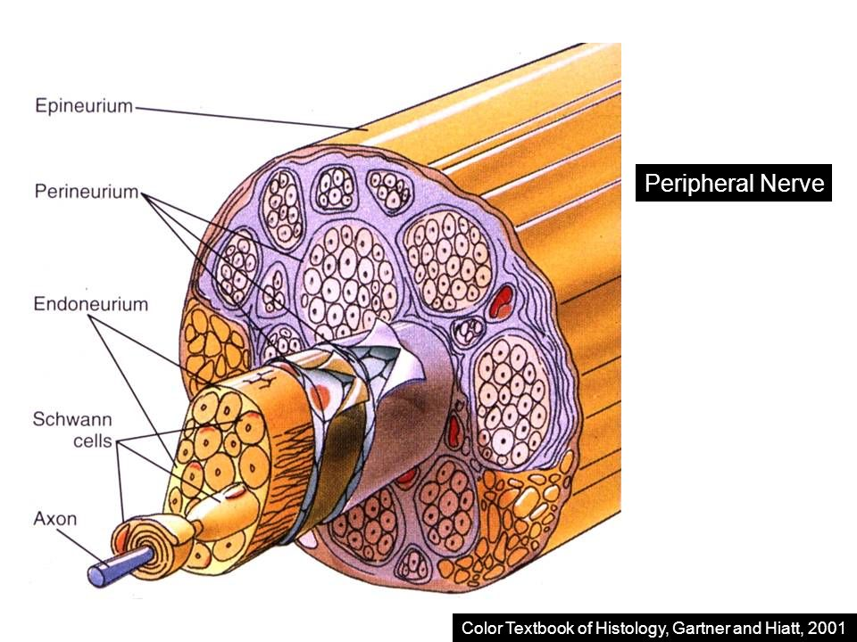 atlas of functional histology kerr pdf