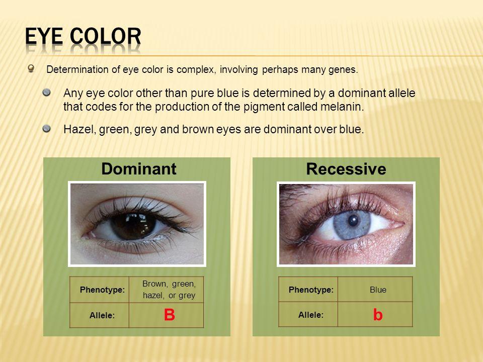 Human Handedness Dominant Recessive R r. 13 Brown ...