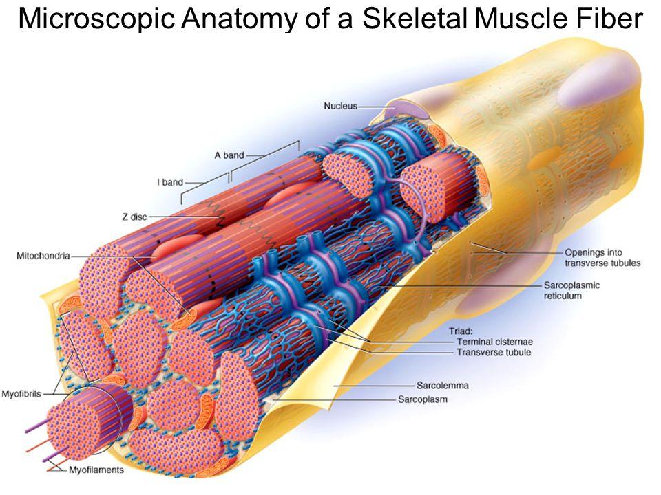 Anatomy of muscle fiber