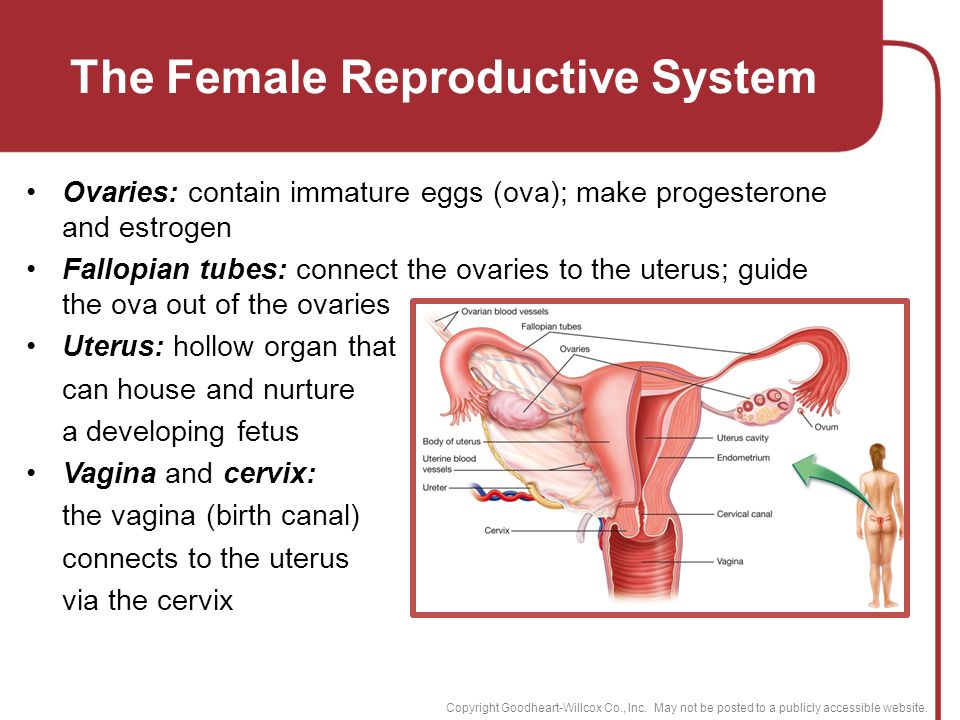 the female reproductive system essay