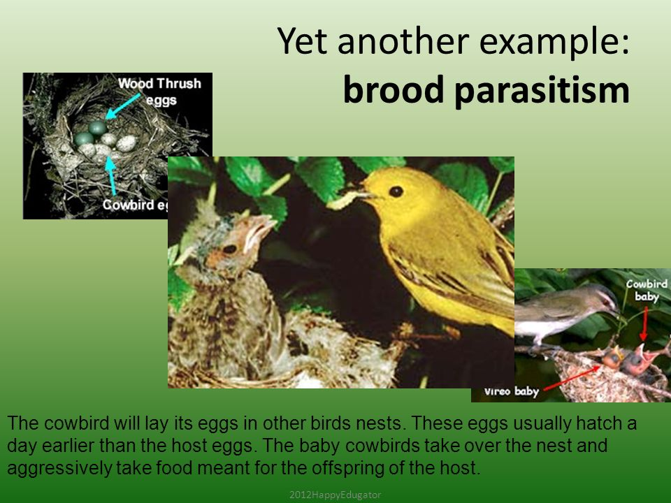 Yet another example: brood parasitism