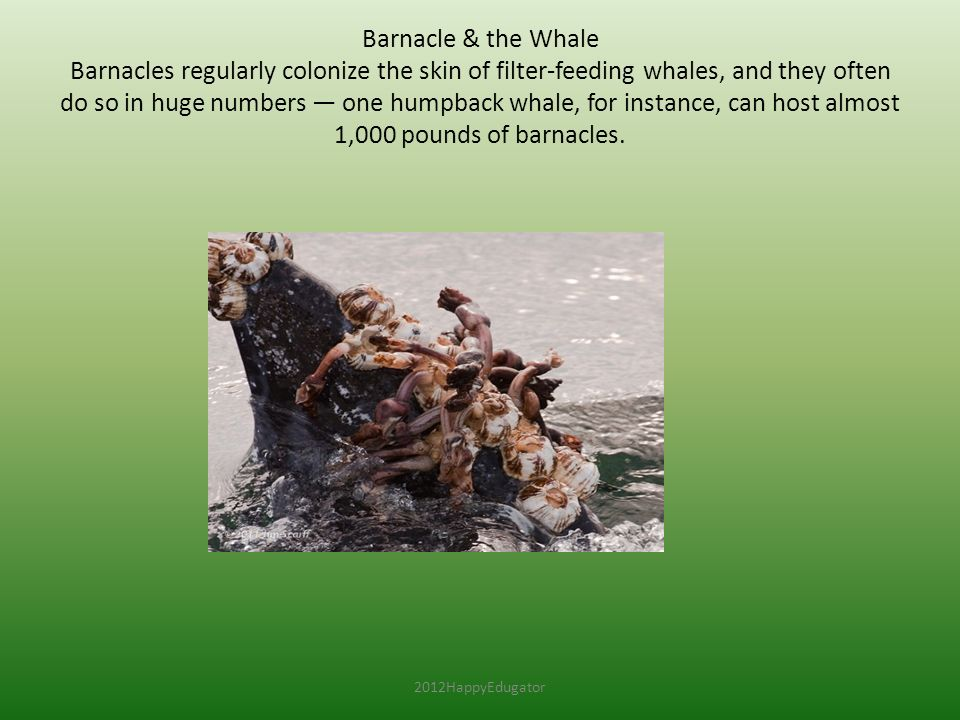 Barnacle & the Whale Barnacles regularly colonize the skin of filter-feeding whales, and they often do so in huge numbers — one humpback whale, for instance, can host almost 1,000 pounds of barnacles.