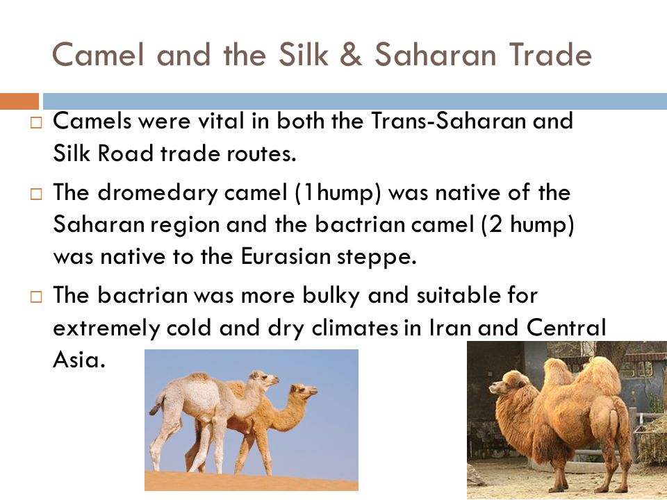Camel and the Silk & Saharan Trade