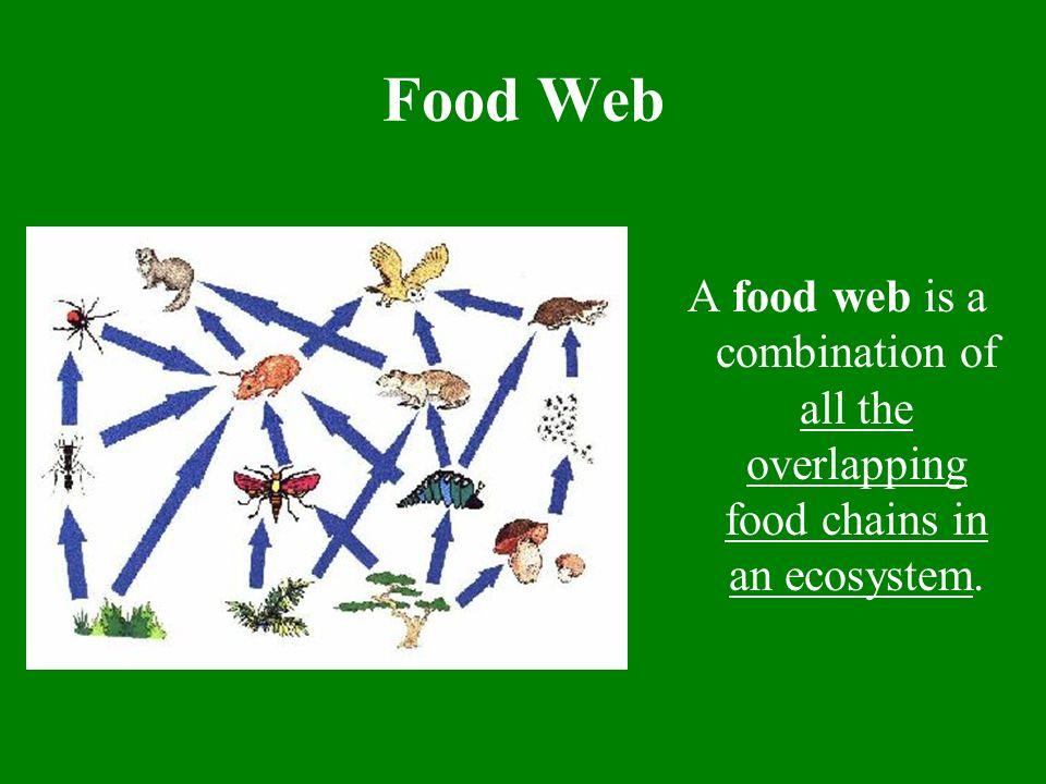 Food Webs Within Ecosystems Ppt Download