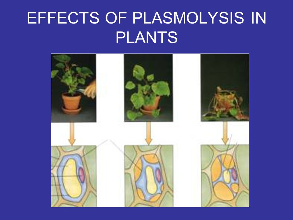 EFFECTS OF PLASMOLYSIS IN PLANTS