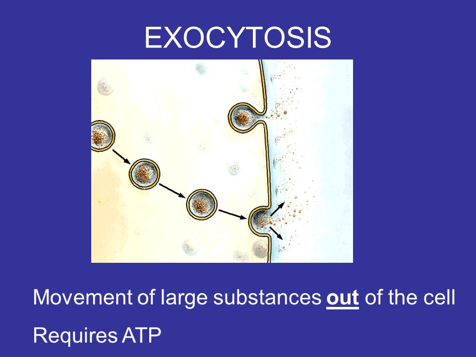 EXOCYTOSIS Movement of large substances out of the cell Requires ATP