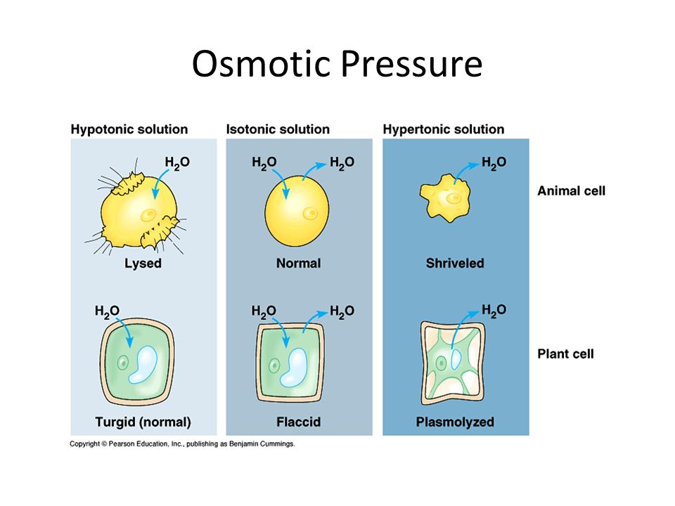 osmotic pressure on potatoes Mode of action: the use of high concentrations of salts and sugars to preserve food is based on the effects of osmotic pressure high concentrations of.