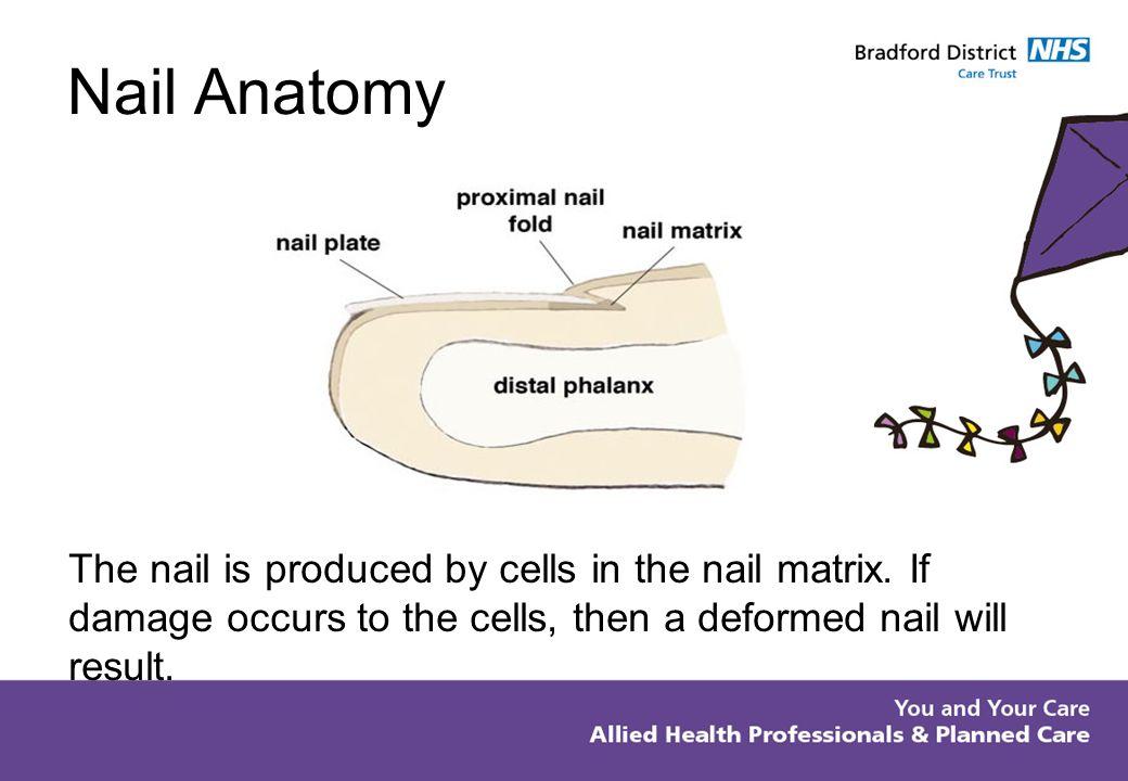 Perfecto Human Nail Anatomy Imágenes - Imágenes de Anatomía Humana ...