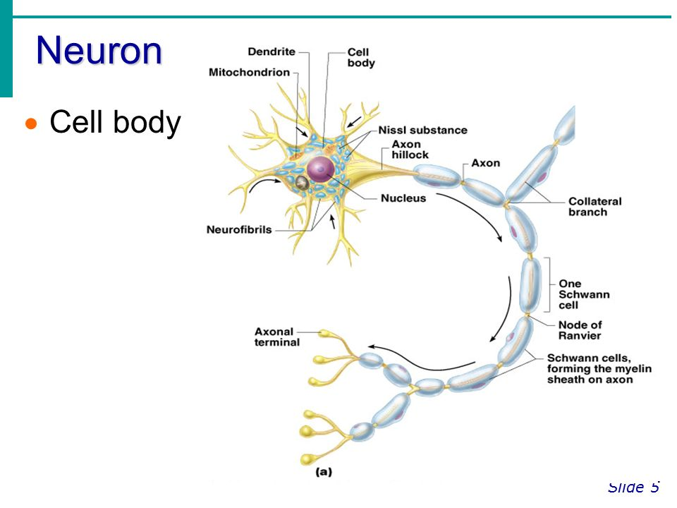 neuron cell body from - photo #1