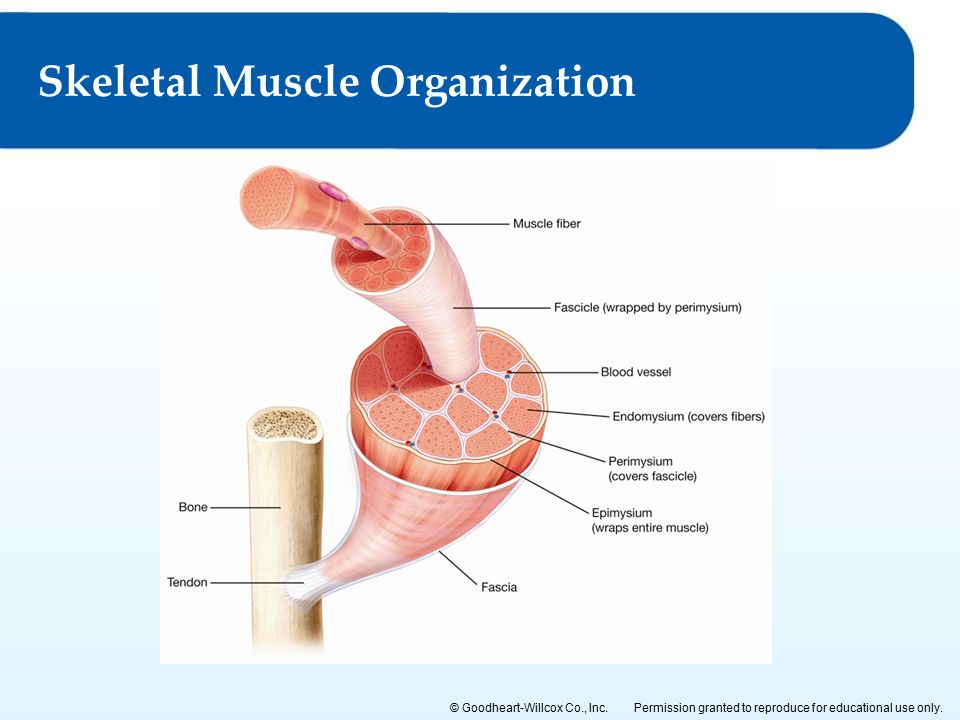 organization of muscle tissue laszlo Muscle tissue, which responds to stimulation and contracts to provide movement, is divided into three major types: skeletal (voluntary) muscles, smooth muscles, and the cardiac muscle in the heart nervous tissue allows the body to receive signals and transmit information as electric impulses from one region of the body to another.