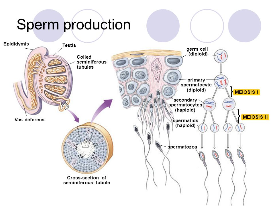 Sperm production begins in the
