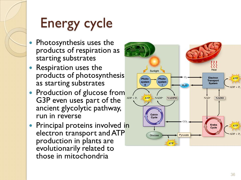 products of photosythesis An overview of photosynthesis: including the importance of plants, the raw materials used in photosynthesis, the products of photosynthesis, and how plants shaped the earth's atmosphere characteristics of light.