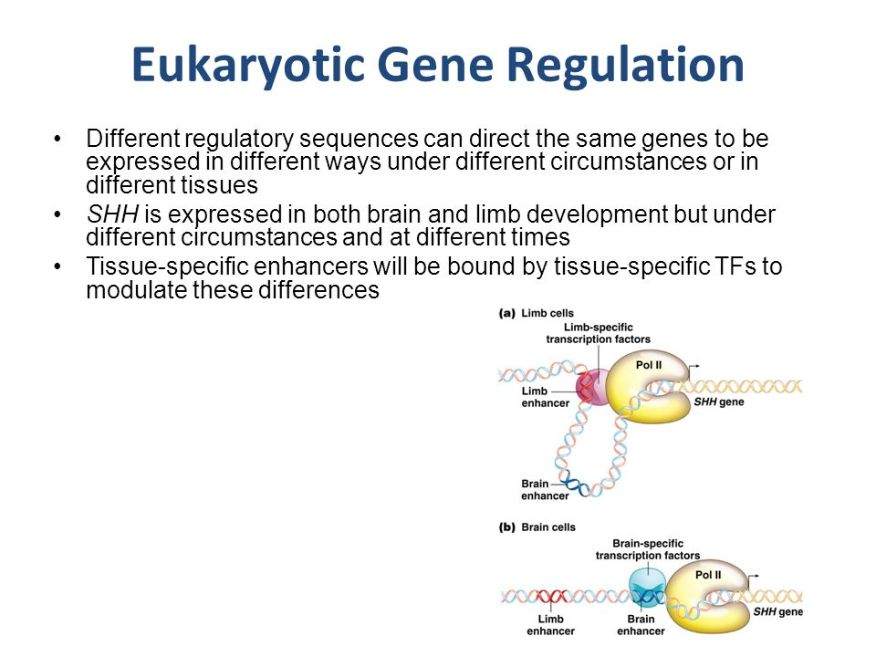 difference between gene regulation in eukaryotes If we zoom out a step, gene regulation can also help us explain some of the differences in form and function between different species with relatively similar gene sequences for instance, humans and chimpanzees have genomes that are about 9 8  8 % 988\% 9 8  8 % 98, point, 8, percent identical at the dna level.