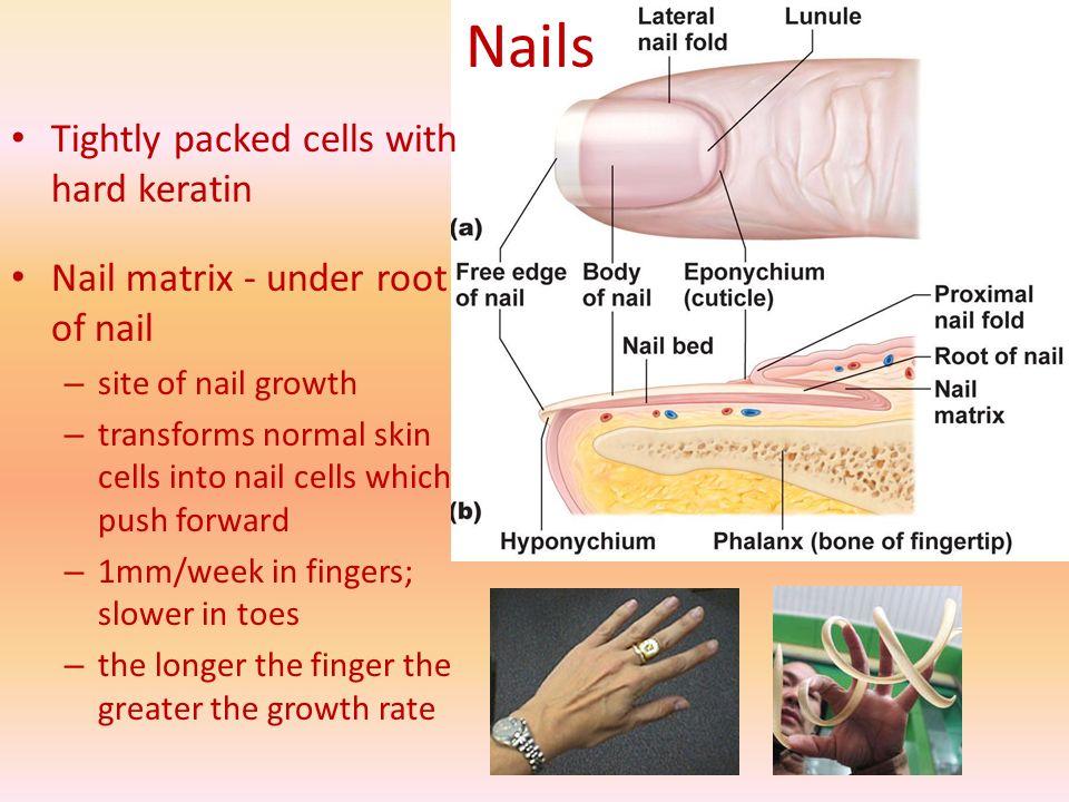 Unique Anatomy Of Nail Illustration - Human Anatomy Images ...