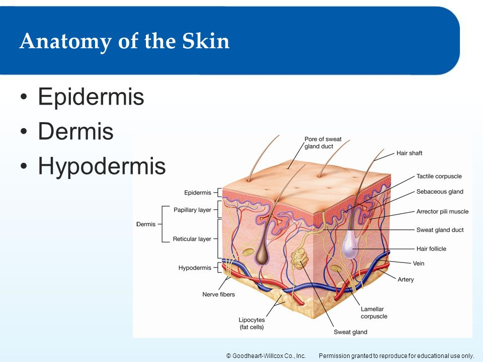 The Anatomy Of The Skin Gallery - human body anatomy