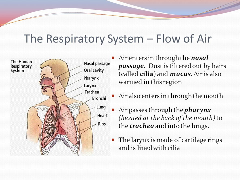 the journey through the respiratory Overview the two lungs are the primary organs of the respiratory system other components of the respiratory system conduct air to the lungs, such as the trachea (windpipe) which branches into smaller structures called bronchi.