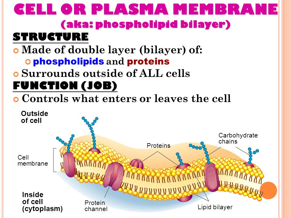 STRUCTURE & FUNCTION OF CELLS LECTURE #15 MS. DAY HONORS BIOLOGY ...